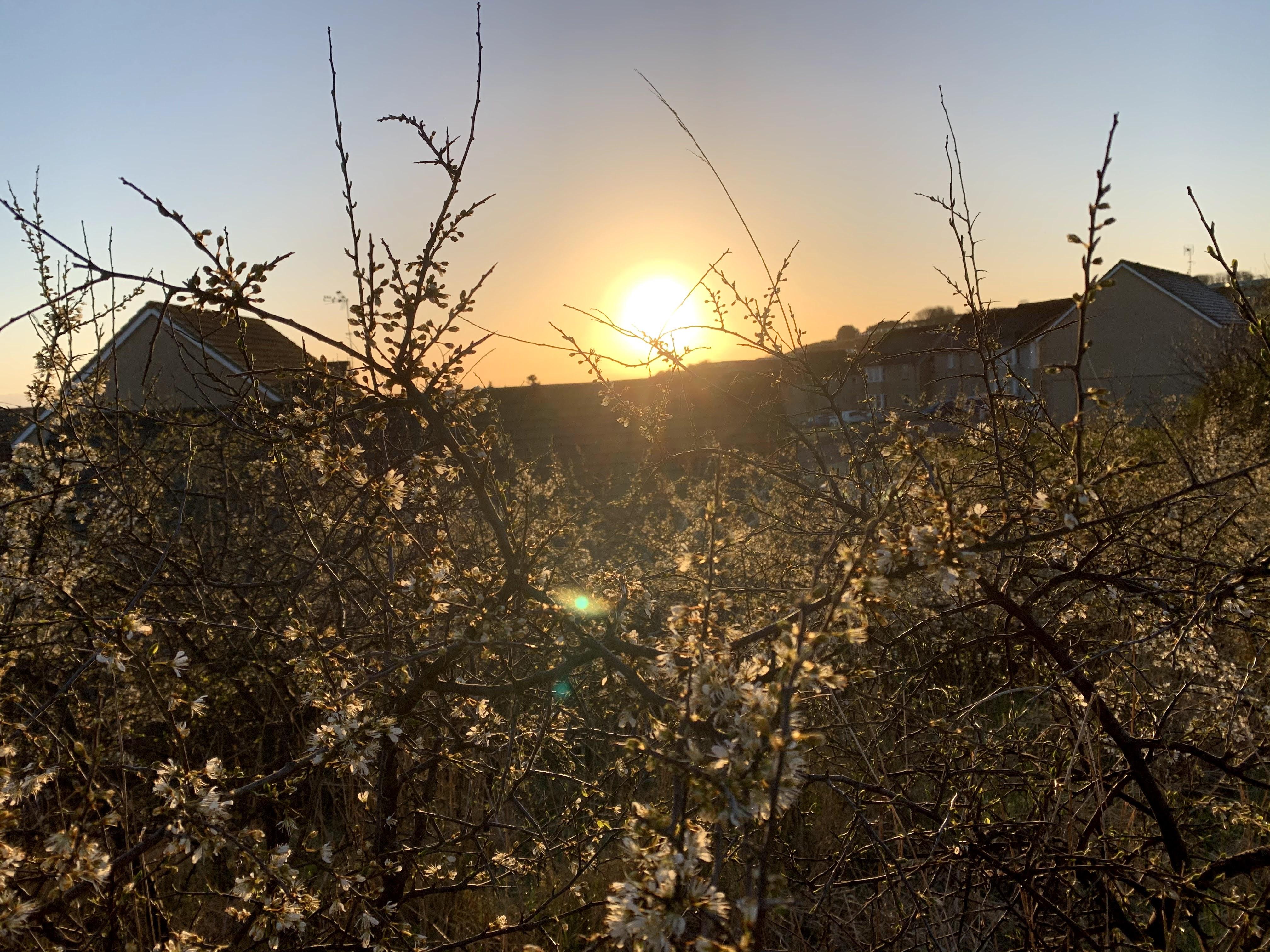 Sunrise over flowery thistles