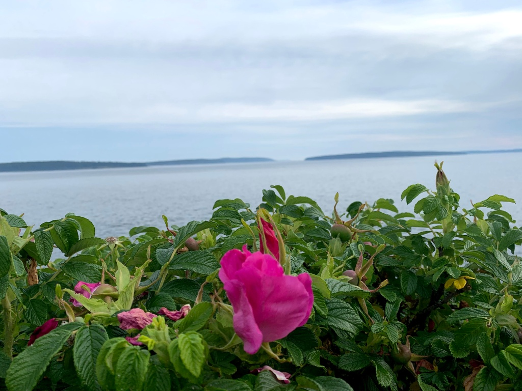 Beach roses and the sea